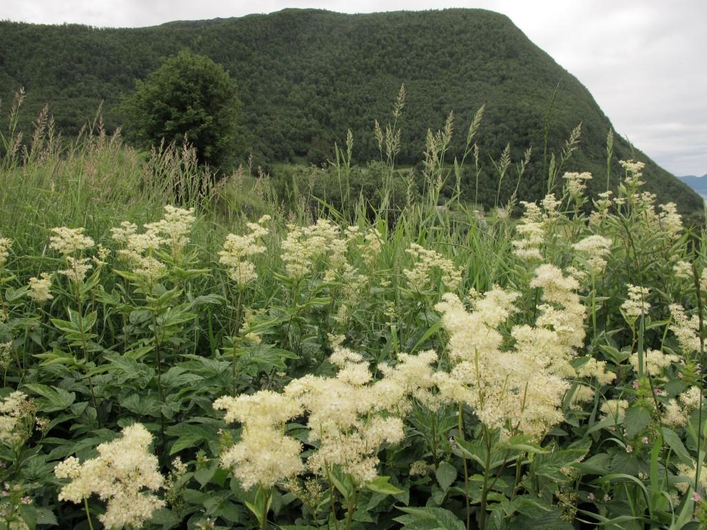 Mjødurten er kjent plante i nord. KUVA LIISA KOIVULEHTO