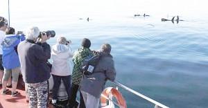 Joskus miekkavalaat tulevat näytille aivan aluksen viereen. Lauman johtaja on vanha naaras. KUVA TEA-MARI BRAX
