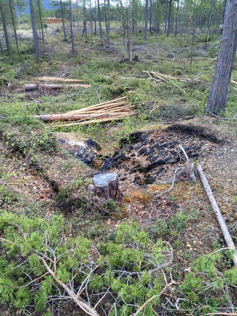 Det fløt av felte furutrær rundt tjæremila da Nina Østlyngen besøkte Skillemoenfor en uke siden. KUVA NINA ØSTLYNGEN