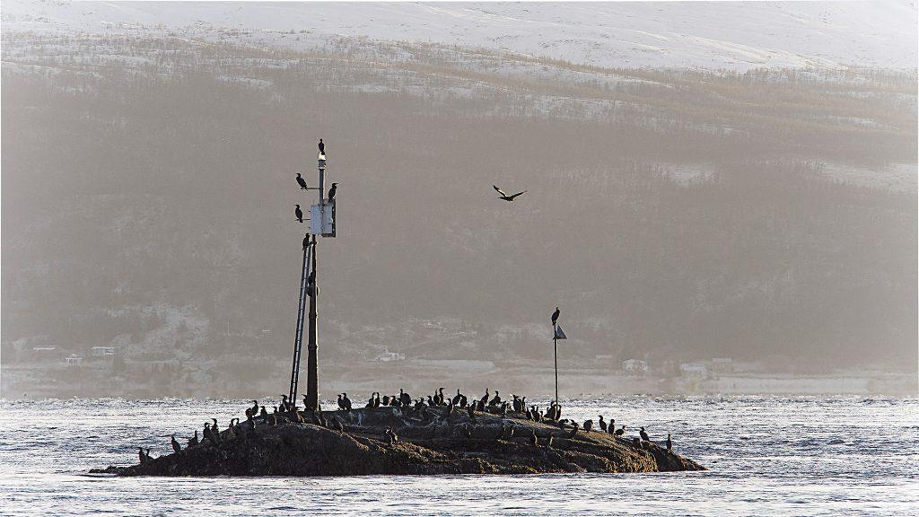 Storskarven er en tallrik hekkefugl langs kysten i nord, og den sorte fuglen har også vært opphavet til flere stedsnavn -også på kvensk. KUVA LIISA KOIVULEHTO